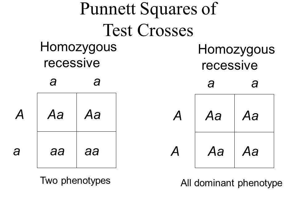 Punnett Squares of Test Crosses Homozygous recessive a A aaa Aa aa Homozygous recessive a A AAa Two phenotypes All dominant phenotype