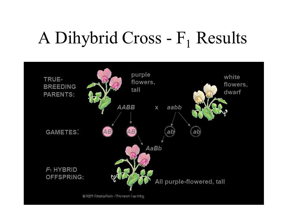 A Dihybrid Cross - F 1 Results AABBaabbx AaBb AB ab TRUE- BREEDING PARENTS: GAMETES : F 1 HYBRID OFFSPRING: purple flowers, tall white flowers, dwarf