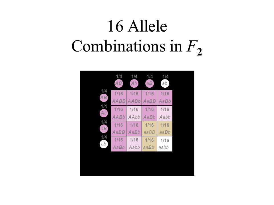 16 Allele Combinations in F 2 aBaB AB abAbAb AbAb aBaB 1/4 AaBbAaBbaabbAabbaaBb AABBAABbAaBBAaBb AABbAAbbAaBbAaBbAabb AaBbAaBbaaBBaaBbAaBB 1/16