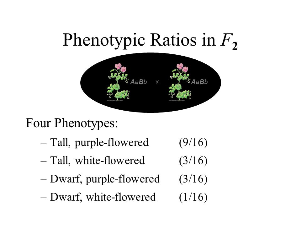 Phenotypic Ratios in F 2 Four Phenotypes: –Tall, purple-flowered (9/16) –Tall, white-flowered (3/16) –Dwarf, purple-flowered (3/16) –Dwarf, white-flow
