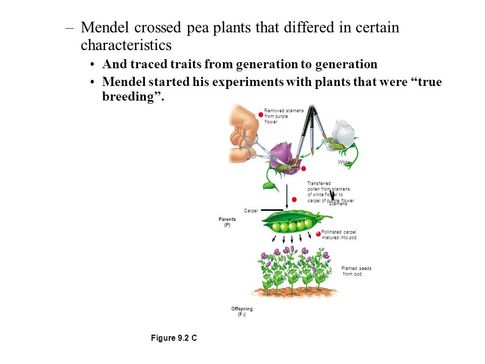 –Mendel crossed pea plants that differed in certain characteristics And traced traits from generation to generation Mendel started his experiments wit