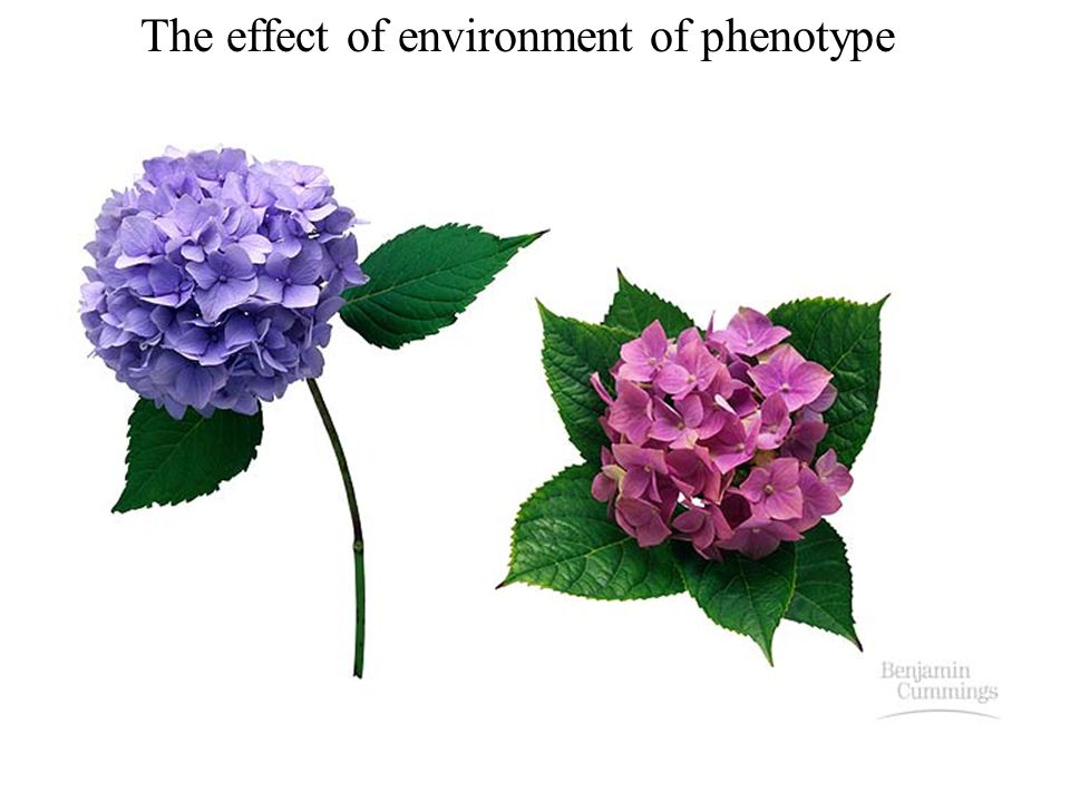 The effect of environment of phenotype