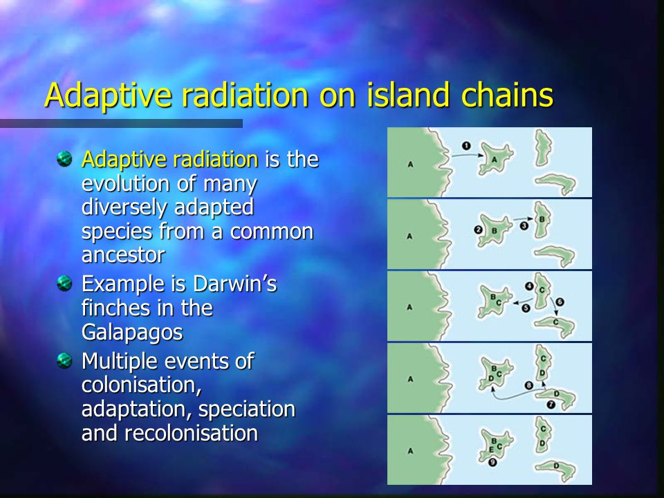 Adaptive radiation on island chains Adaptive radiation is the evolution of many diversely adapted species from a common ancestor Example is Darwin's finches in the Galapagos Multiple events of colonisation, adaptation, speciation and recolonisation