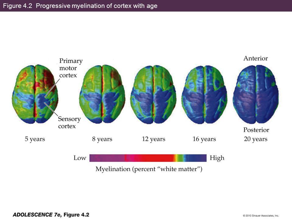 Figure 4.2 Progressive myelination of cortex with age