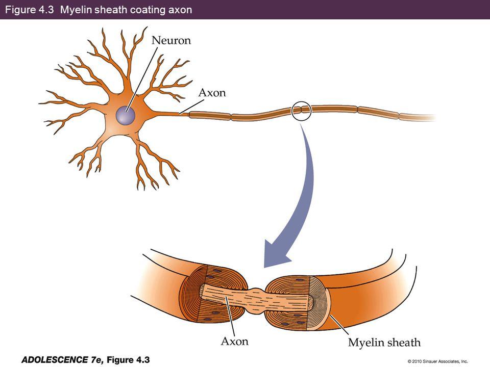 Figure 4.3 Myelin sheath coating axon