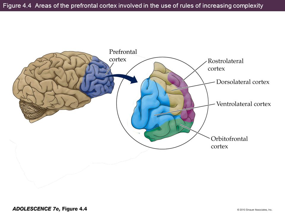 Figure 4.4 Areas of the prefrontal cortex involved in the use of rules of increasing complexity