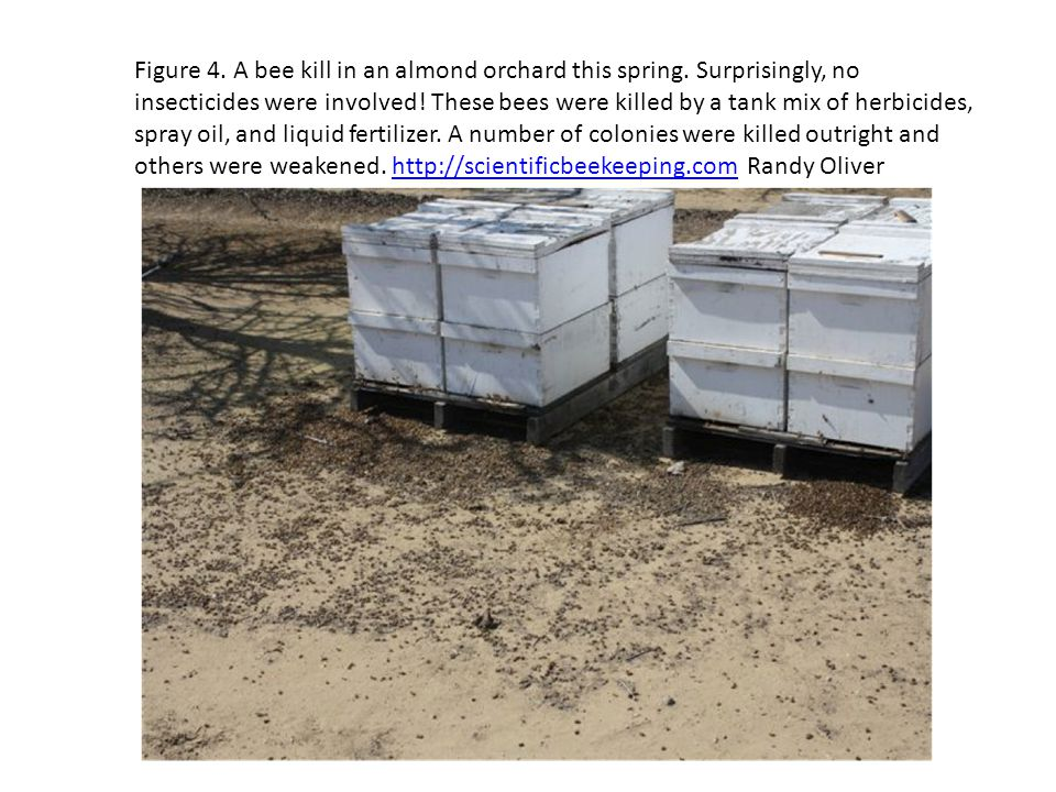 Figure 4. A bee kill in an almond orchard this spring. Surprisingly, no insecticides were involved! These bees were killed by a tank mix of herbicides