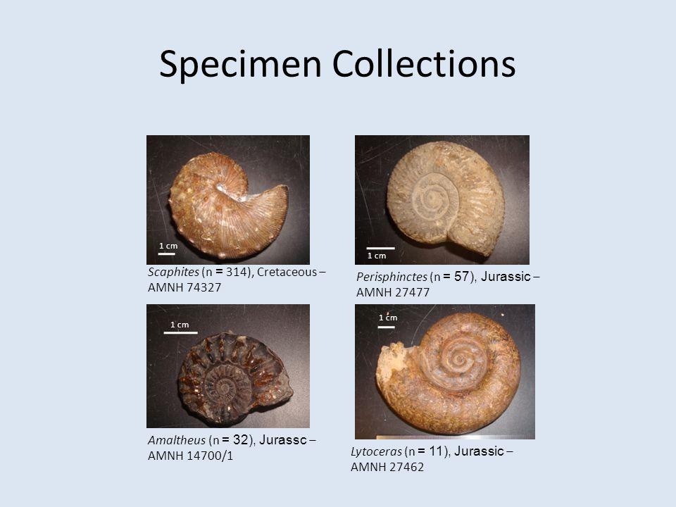 Specimen Collections Scaphites (n = 314), Cretaceous – AMNH 74327 1 cm Perisphinctes (n = 57), Jurassic – AMNH 27477 1 cm Amaltheus (n = 32), Jurassc – AMNH 14700/1 1 cm Lytoceras (n = 11), Jurassic – AMNH 27462 1 cm