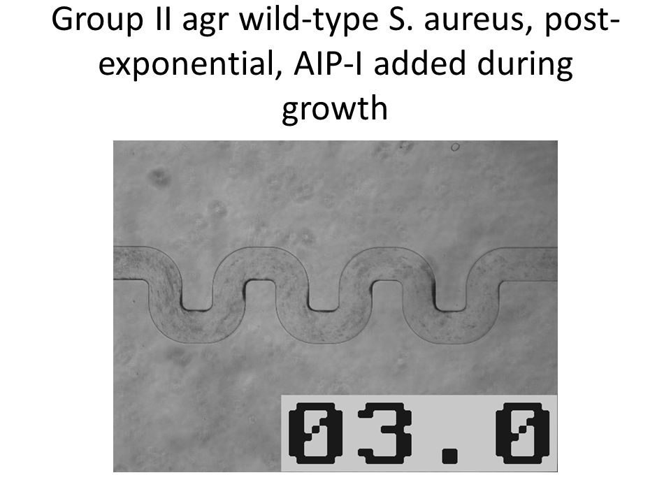 Group II agr wild-type S. aureus, post- exponential, AIP-I added during growth