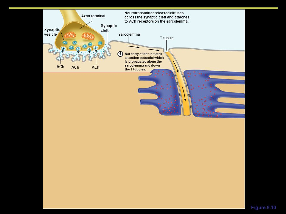 Figure 9.10 Net entry of Na + Initiates an action potential which is propagated along the sarcolemma and down the T tubules.