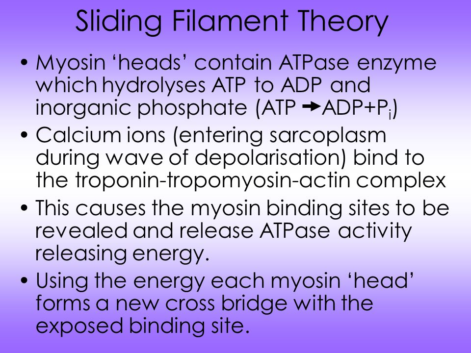 Sliding Filament Theory Myosin 'heads' contain ATPase enzyme which hydrolyses ATP to ADP and inorganic phosphate (ATP ADP+P i ) Calcium ions (entering sarcoplasm during wave of depolarisation) bind to the troponin-tropomyosin-actin complex This causes the myosin binding sites to be revealed and release ATPase activity releasing energy.