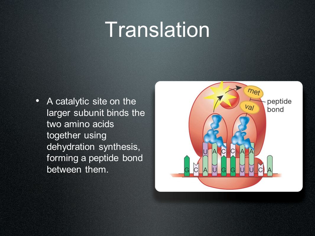 Translation A catalytic site on the larger subunit binds the two amino acids together using dehydration synthesis, forming a peptide bond between them