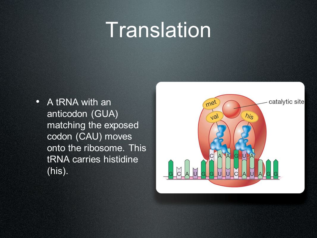 Translation A tRNA with an anticodon (GUA) matching the exposed codon (CAU) moves onto the ribosome. This tRNA carries histidine (his).