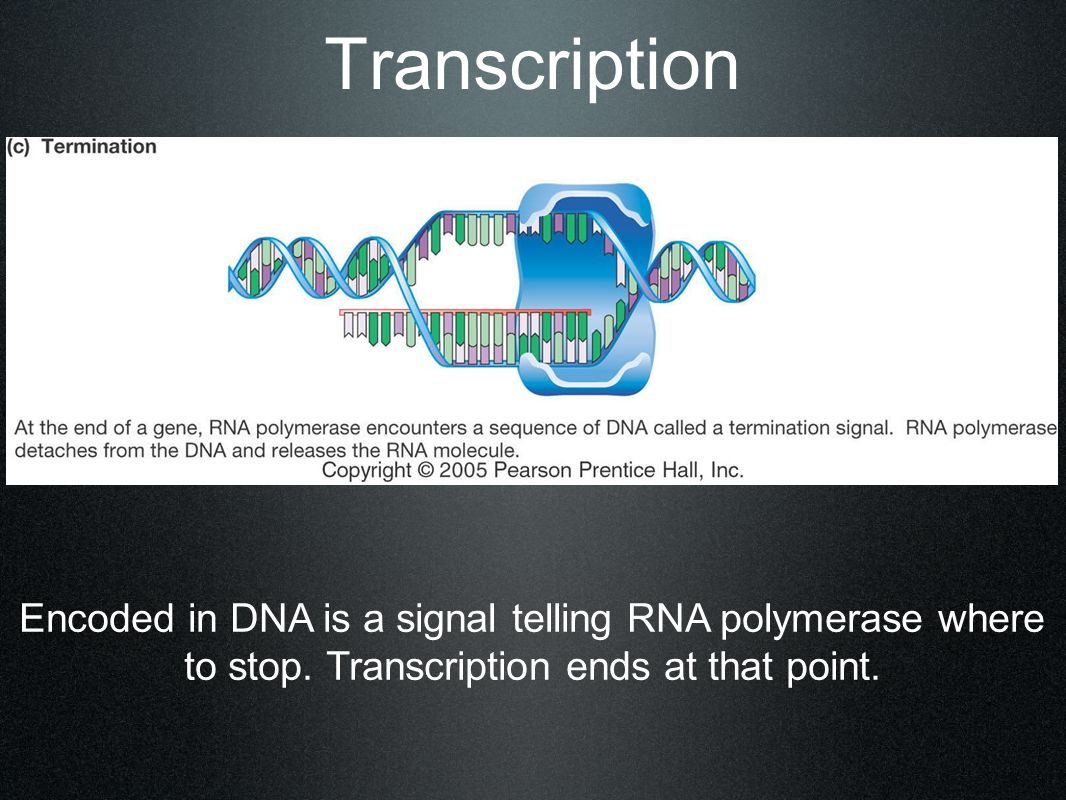 Transcription Encoded in DNA is a signal telling RNA polymerase where to stop. Transcription ends at that point.