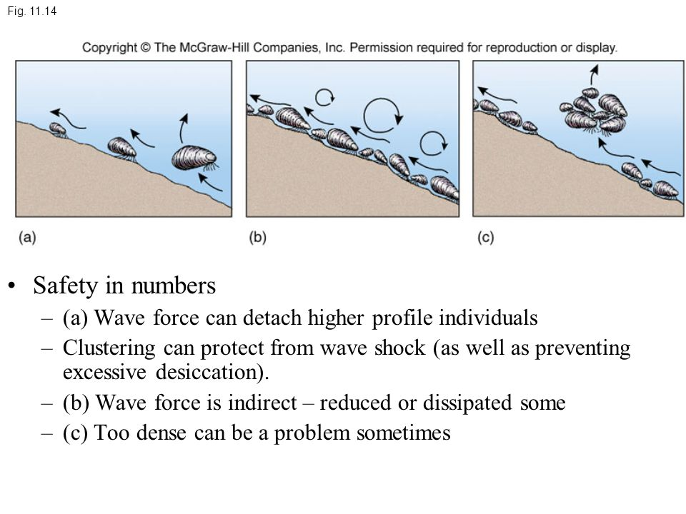 Safety in numbers –(a) Wave force can detach higher profile individuals –Clustering can protect from wave shock (as well as preventing excessive desiccation).