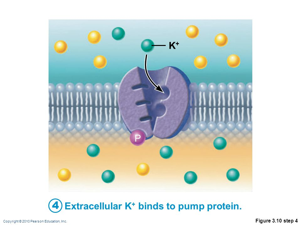 Copyright © 2010 Pearson Education, Inc. Figure 3.10 step 4 Extracellular K + binds to pump protein. P K+K+ 4