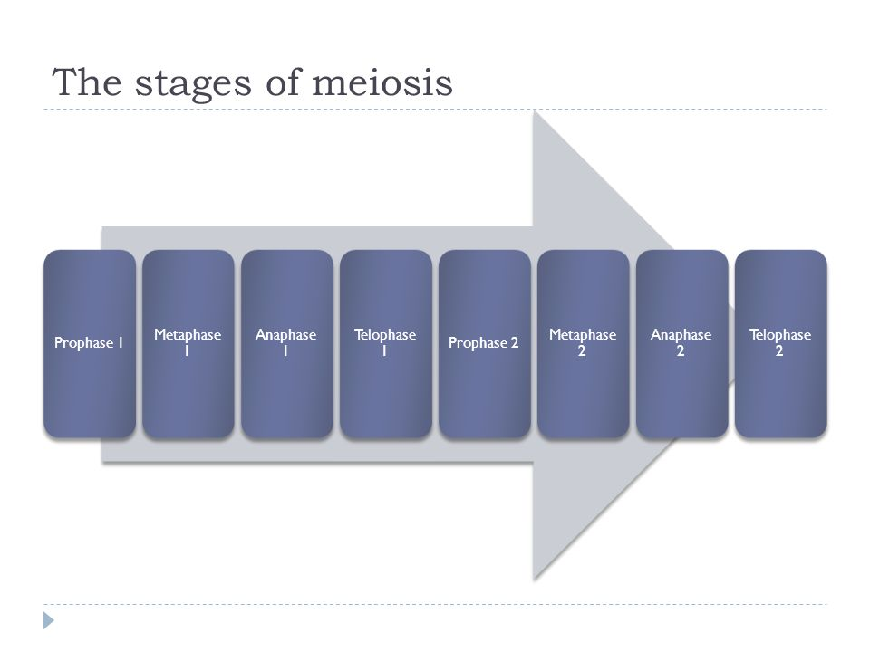 The stages of meiosis Prophase 1 Metaphase 1 Anaphase 1 Telophase 1 Prophase 2 Metaphase 2 Anaphase 2 Telophase 2