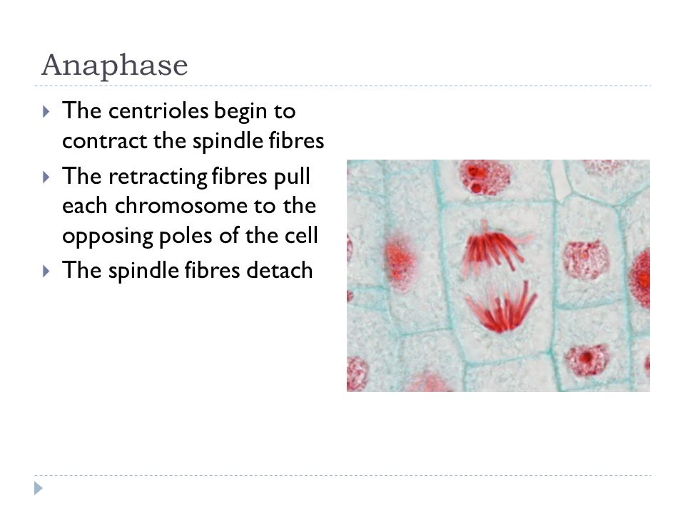 Anaphase  The centrioles begin to contract the spindle fibres  The retracting fibres pull each chromosome to the opposing poles of the cell  The sp