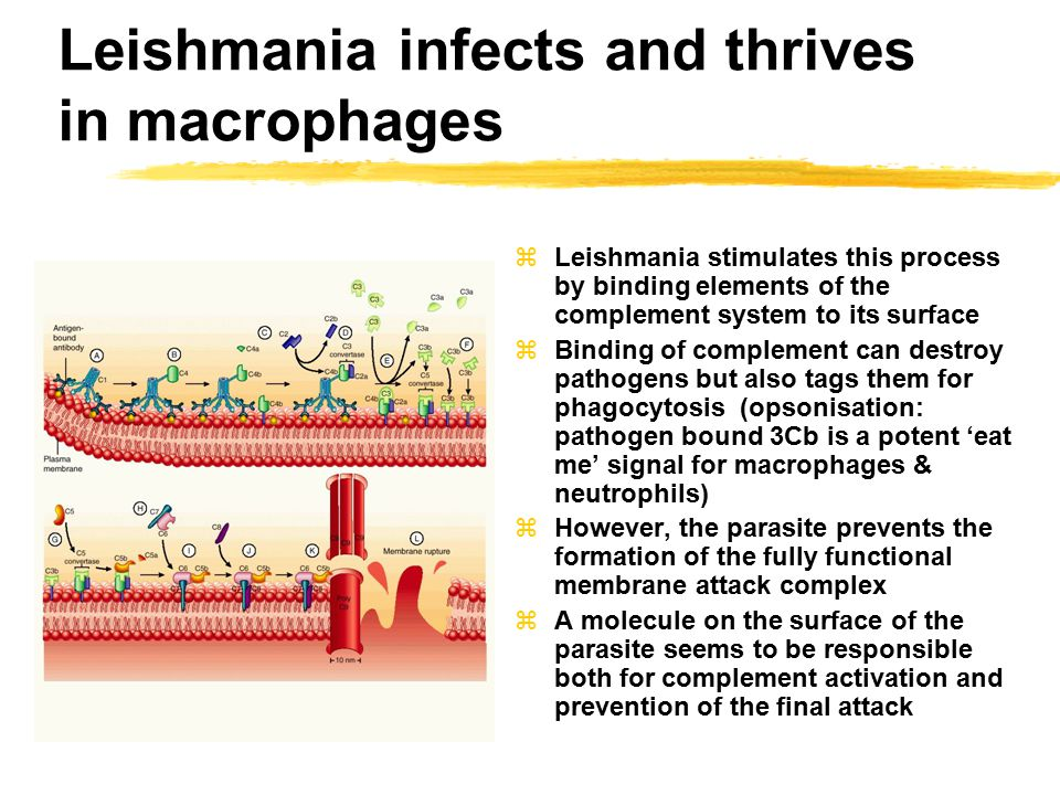 Leishmania infects and thrives in macrophages zLeishmania stimulates this process by binding elements of the complement system to its surface zBinding