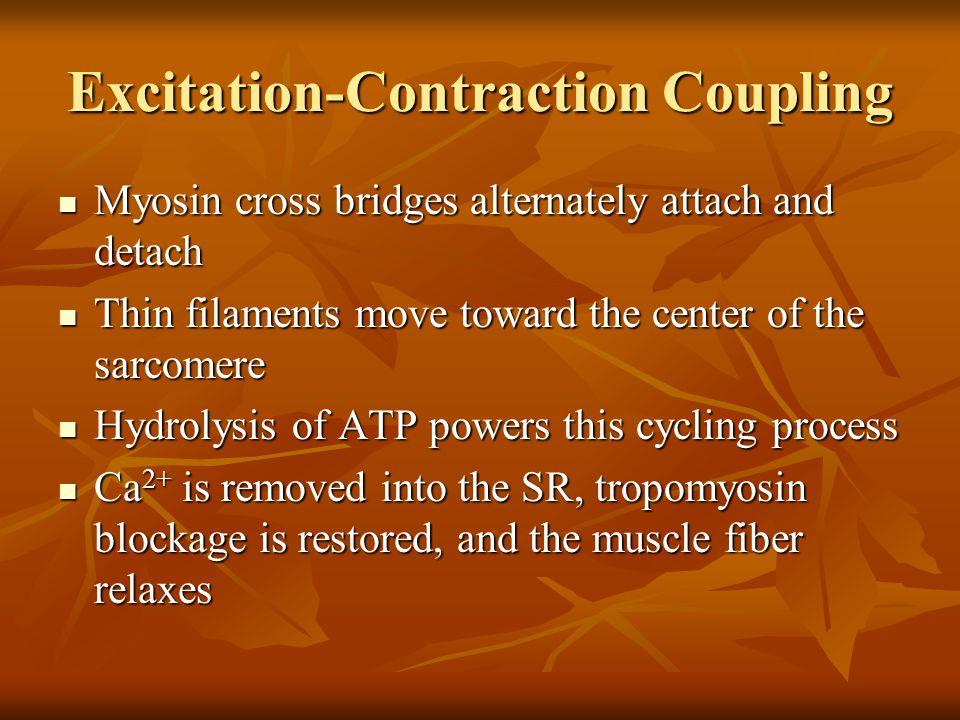 Excitation-Contraction Coupling Myosin cross bridges alternately attach and detach Myosin cross bridges alternately attach and detach Thin filaments m