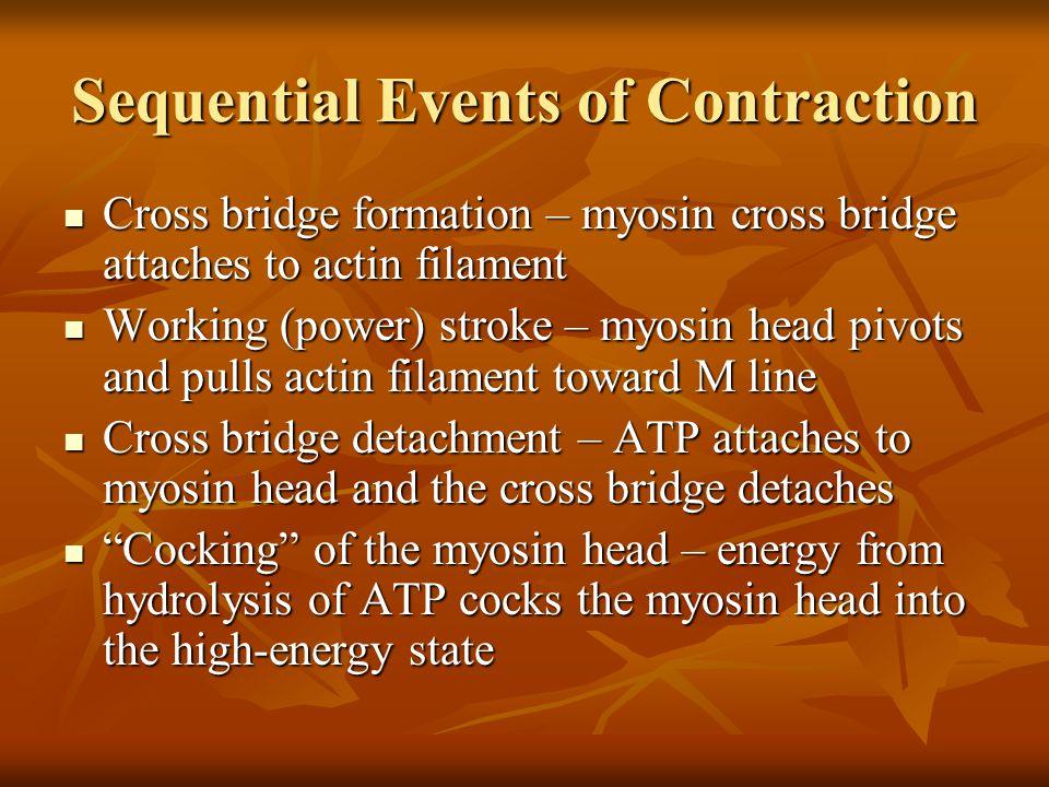 Sequential Events of Contraction Cross bridge formation – myosin cross bridge attaches to actin filament Cross bridge formation – myosin cross bridge