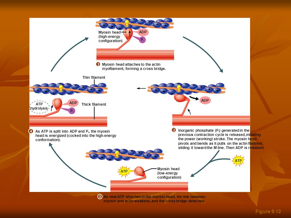 Figure 9.12 ATP ADP ATP hydrolysis ADP ATP PiPi PiPi Myosin head (high-energy configuration) Myosin head attaches to the actin myofilament, forming a