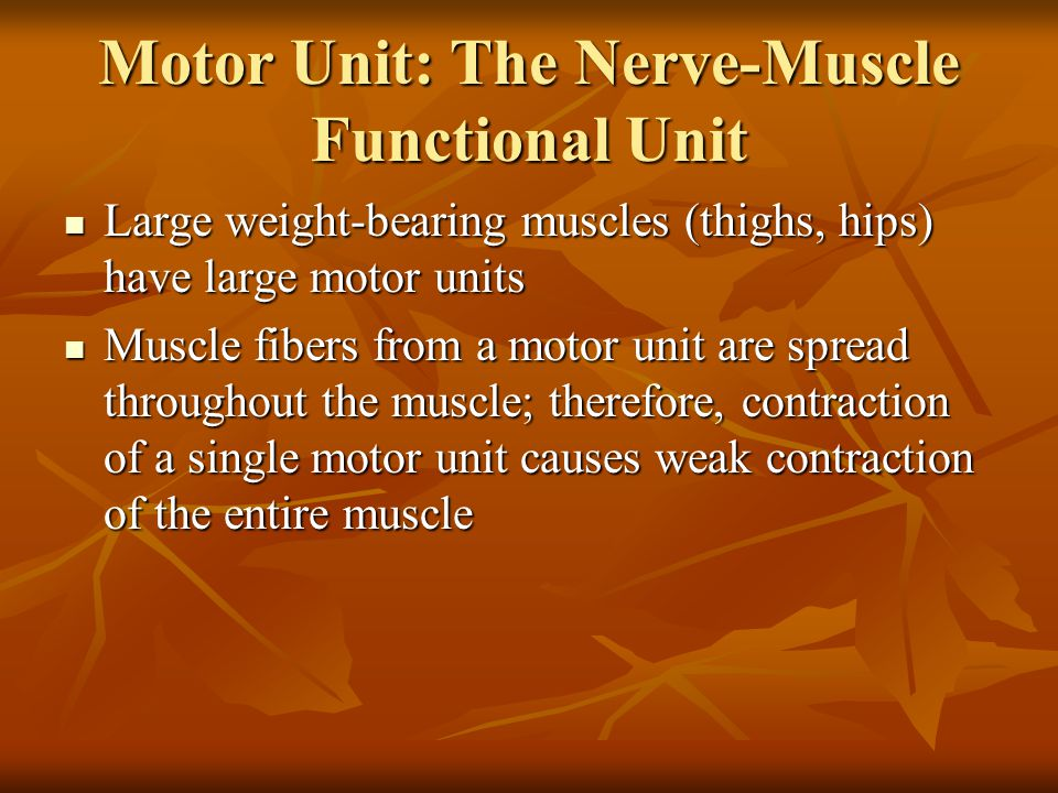 Motor Unit: The Nerve-Muscle Functional Unit Large weight-bearing muscles (thighs, hips) have large motor units Large weight-bearing muscles (thighs,