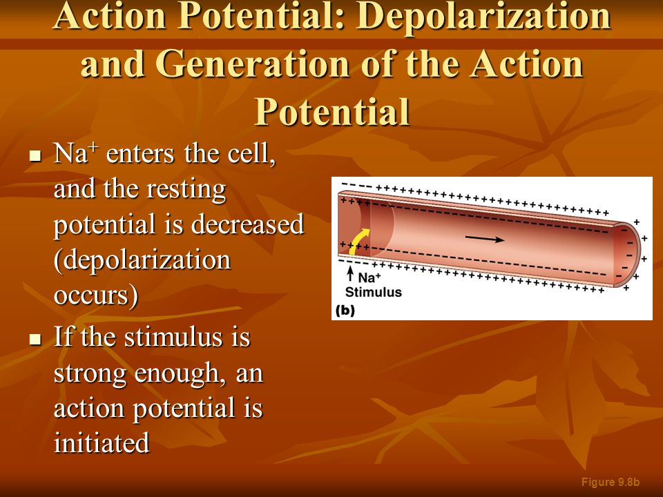 Action Potential: Depolarization and Generation of the Action Potential Na + enters the cell, and the resting potential is decreased (depolarization o