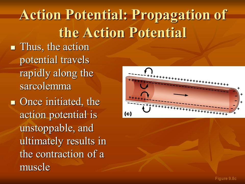 Action Potential: Propagation of the Action Potential Thus, the action potential travels rapidly along the sarcolemma Thus, the action potential trave