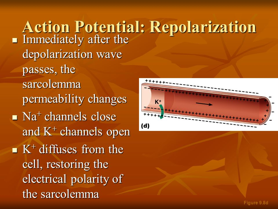 Action Potential: Repolarization Immediately after the depolarization wave passes, the sarcolemma permeability changes Immediately after the depolariz