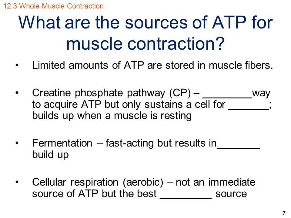 7 What are the sources of ATP for muscle contraction? Limited amounts of ATP are stored in muscle fibers. Creatine phosphate pathway (CP) – ________ w