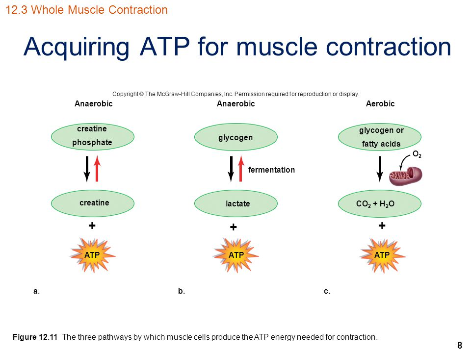 8 Acquiring ATP for muscle contraction Copyright © The McGraw-Hill Companies, Inc. Permission required for reproduction or display. Anaerobic Aerobic