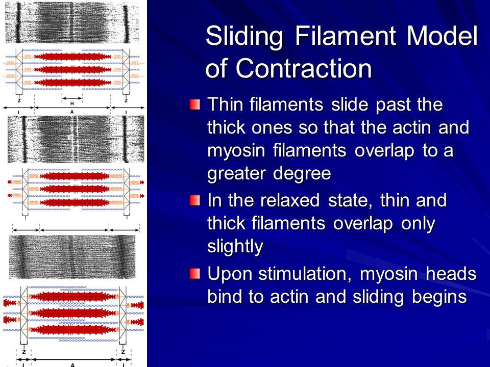Sliding Filament Model of Contraction Each myosin head binds and detaches several times during contraction, acting like a ratchet to generate tension and propel the thin filaments to the center of the sarcomere As this event occurs throughout the sarcomeres, the muscle shortens
