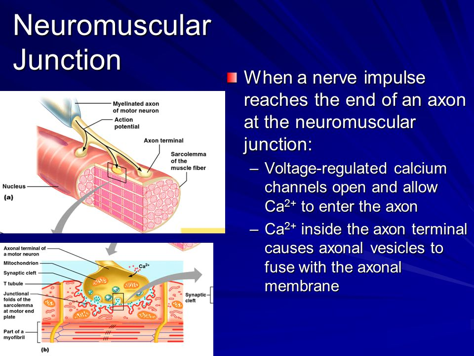 Neuromuscular Junction Neuromuscular Junction –This fusion releases ACh into the synaptic cleft via exocytosis –ACh diffuses across the synaptic cleft to ACh receptors on the sarcolemma –Binding of ACh to its receptors initiates an action potential in the muscle