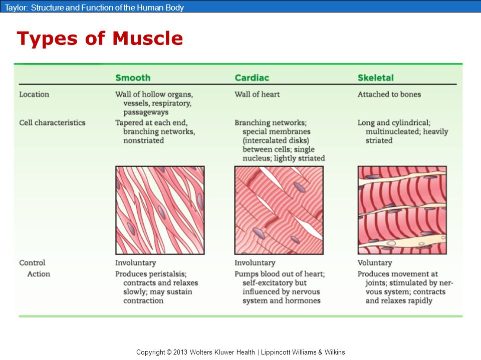 Copyright © 2013 Wolters Kluwer Health | Lippincott Williams & Wilkins Taylor: Structure and Function of the Human Body Types of Muscle