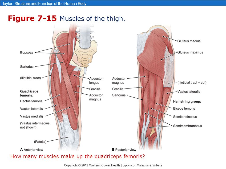 Copyright © 2013 Wolters Kluwer Health | Lippincott Williams & Wilkins Taylor: Structure and Function of the Human Body Figure 7-15 Muscles of the thi