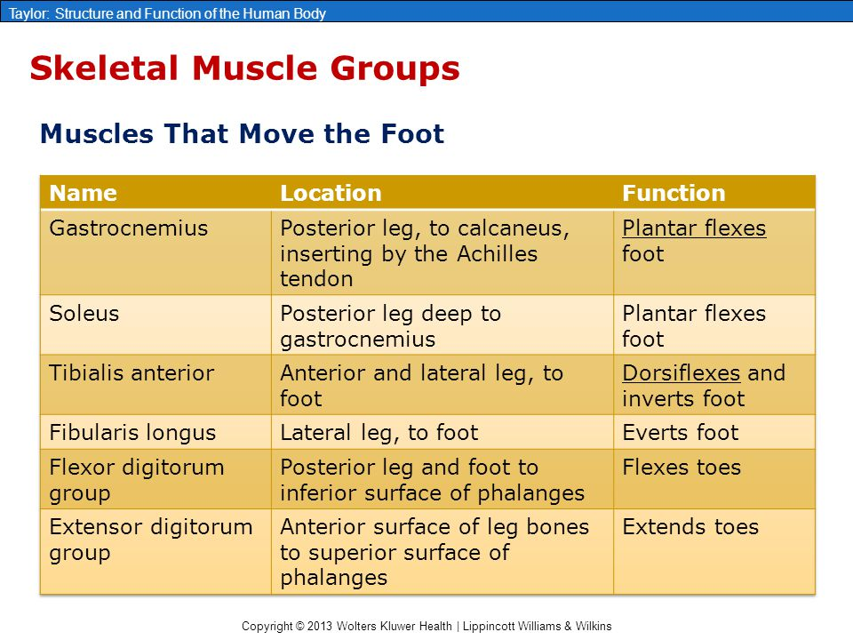 Copyright © 2013 Wolters Kluwer Health | Lippincott Williams & Wilkins Taylor: Structure and Function of the Human Body Skeletal Muscle Groups Muscles
