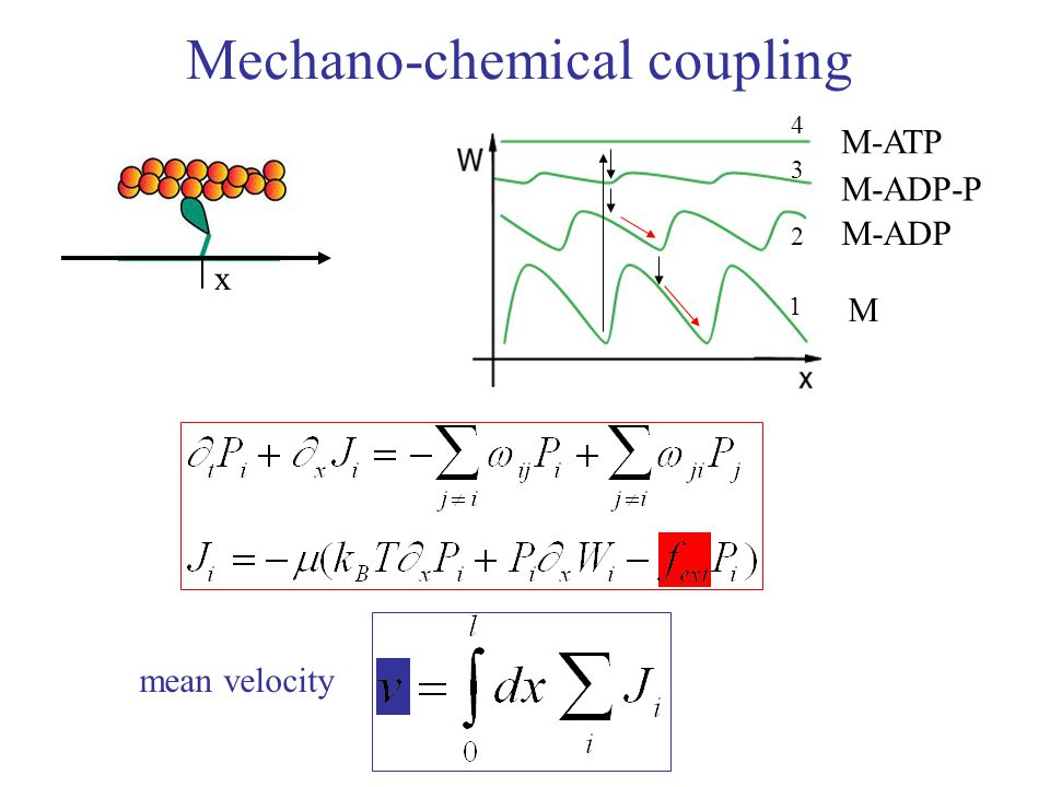 Mechano-chemical coupling M M-ADP M-ADP-P M-ATP mean velocity 1 2 3 4 x