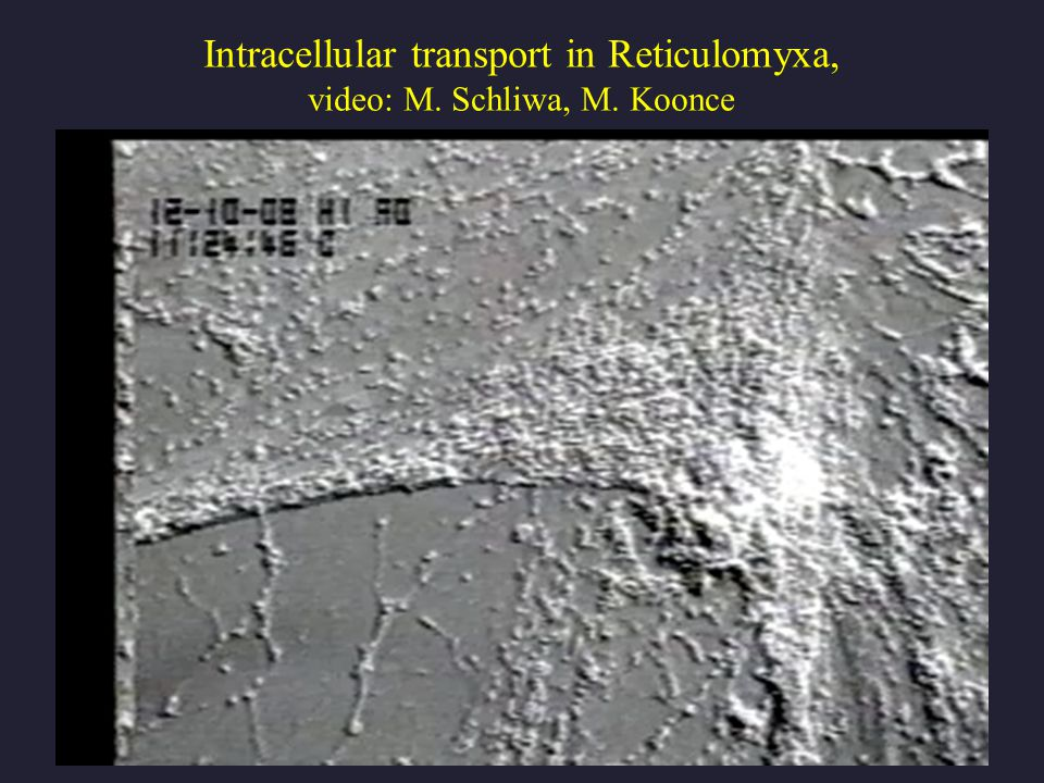 Intracellular transport in Reticulomyxa, video: M. Schliwa, M. Koonce