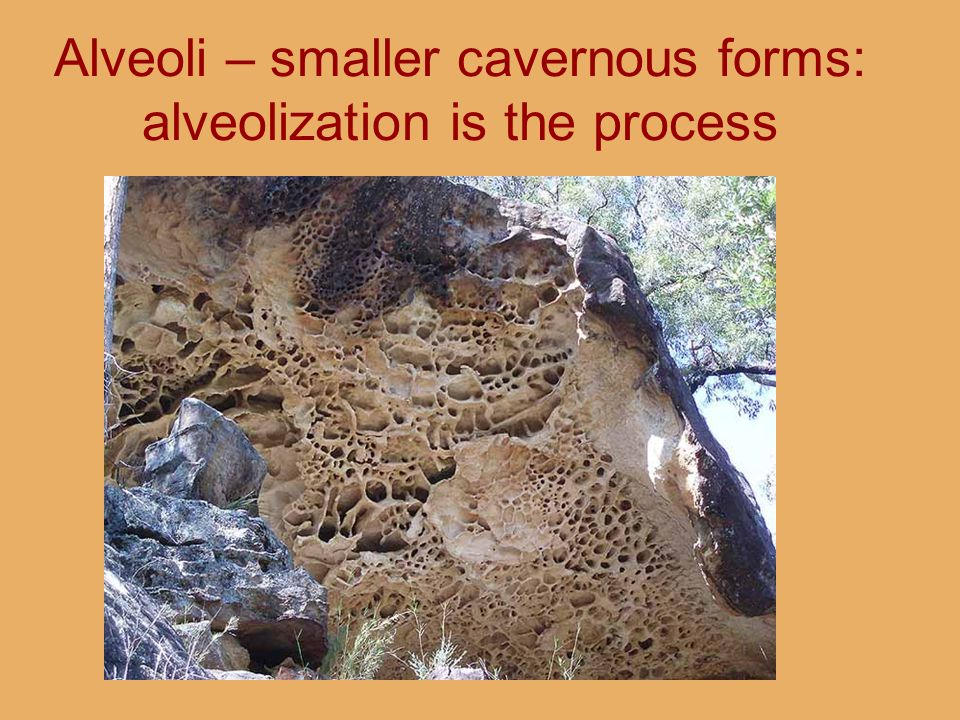 Alveoli – smaller cavernous forms: alveolization is the process