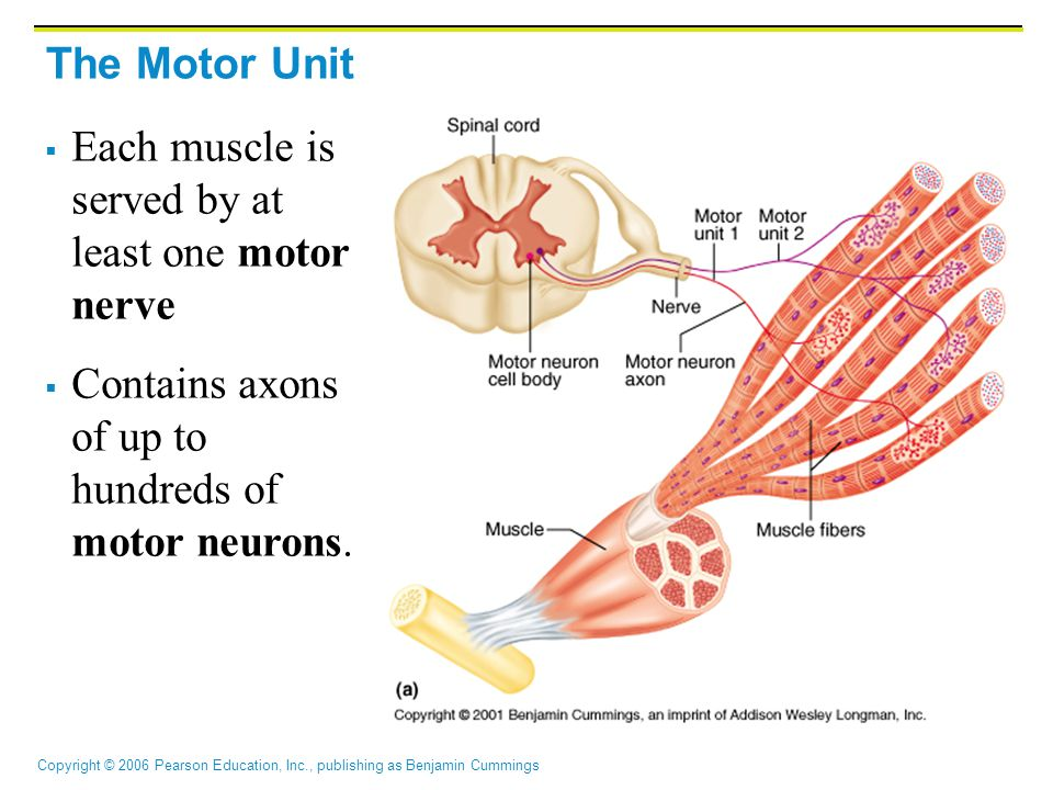 Copyright © 2006 Pearson Education, Inc., publishing as Benjamin Cummings The Motor Unit  Each muscle is served by at least one motor nerve  Contain