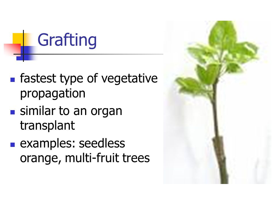 Grafting fastest type of vegetative propagation similar to an organ transplant examples: seedless orange, multi-fruit trees