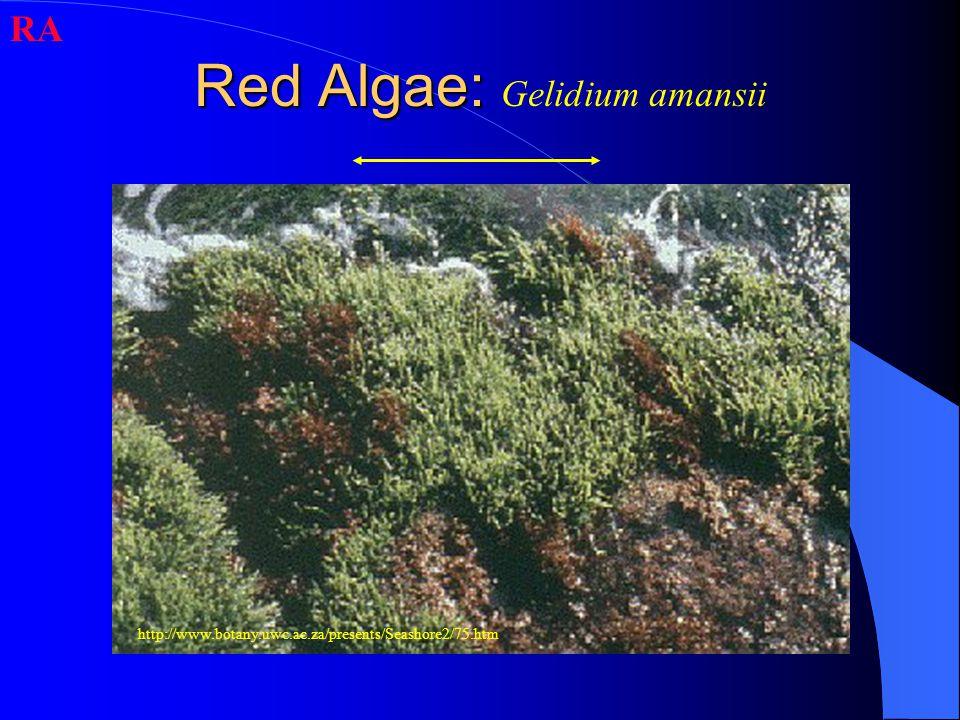 Red Algae: Red Algae: Gelidium amansii RA http://www.botany.uwc.ac.za/presents/Seashore2/75.htm