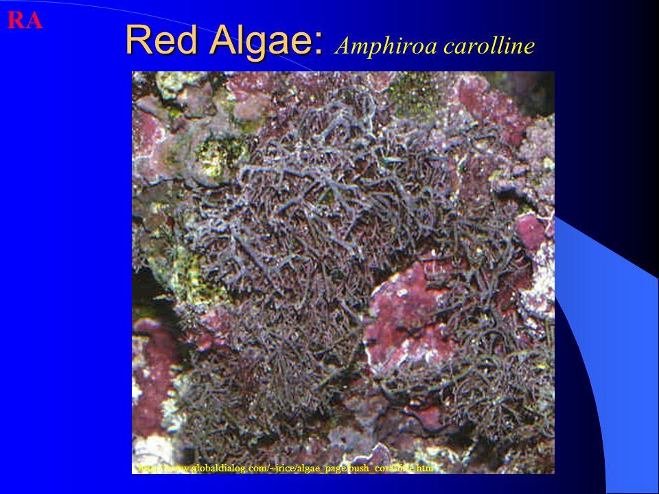 Red Algae: Red Algae: Amphiroa carolline RA http://www.globaldialog.com/~jrice/algae_page/bush_coralline.htm
