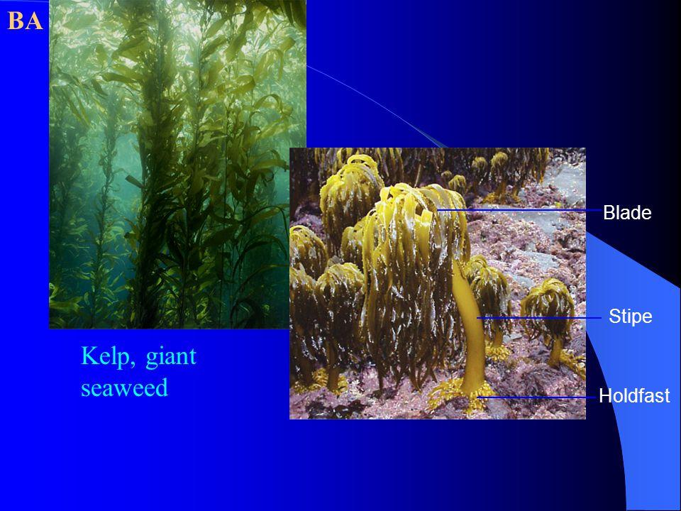 Kelp, giant seaweed Blade Stipe Holdfast BA