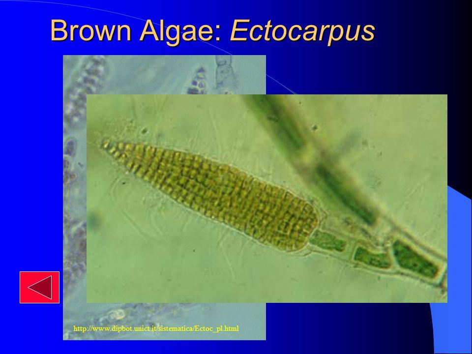 Brown Algae: Ectocarpus http://www.dipbot.unict.it/sistematica/Ectoc_pl.html Plurilocular Sporangium