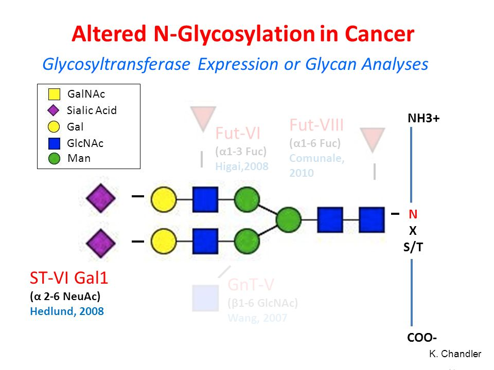 Altered N-Glycosylation in Cancer 41 N X S/T COO- NH3+ Fut-VIII (α1-6 Fuc) Comunale, 2010 GnT-V (β1-6 GlcNAc) Wang, 2007 ST-VI Gal1 (α 2-6 NeuAc) Hedl