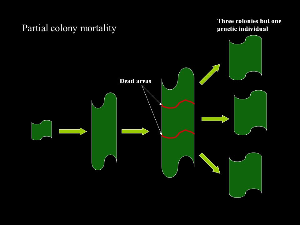 Partial colony mortality Dead areas Three colonies but one genetic individual