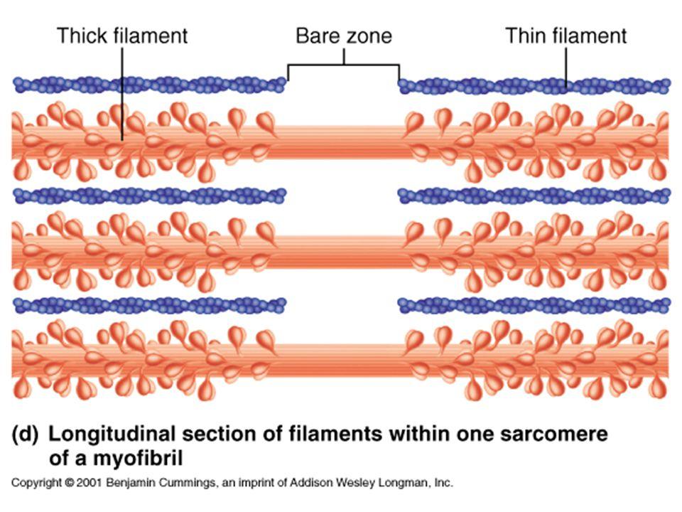 Myofibrils zActin zMyosin