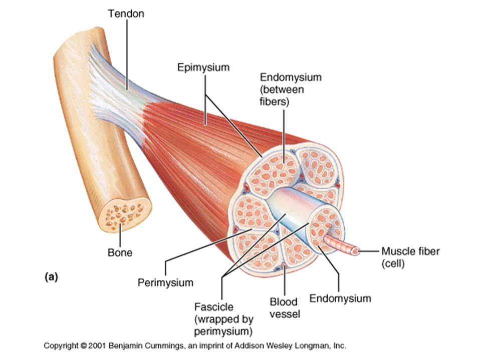 Connective Tissue Components zFascia - found under the skin, covering organs, and muscles zEpimysium – surrounds entire muscle zPerimysium – surrounds groups of muscle fibers called fascicles zEndomysium – surrounds individual muscle fibers zTendons; Aponeurosis – connect muscle to bones